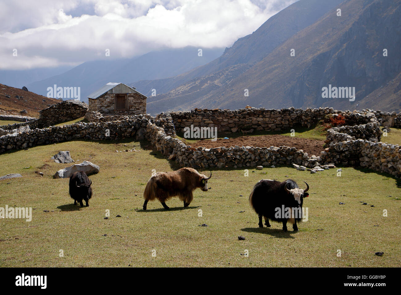 Yaks in rock padock at Lungdlen - Stock Image