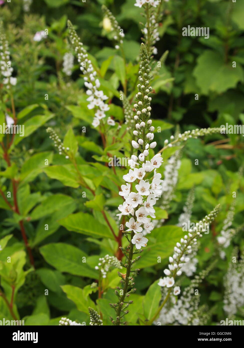 PRIMULACEAE - LYSIMACHIA 'CANDELA' white small flowers throngs with green leaves - Stock Image