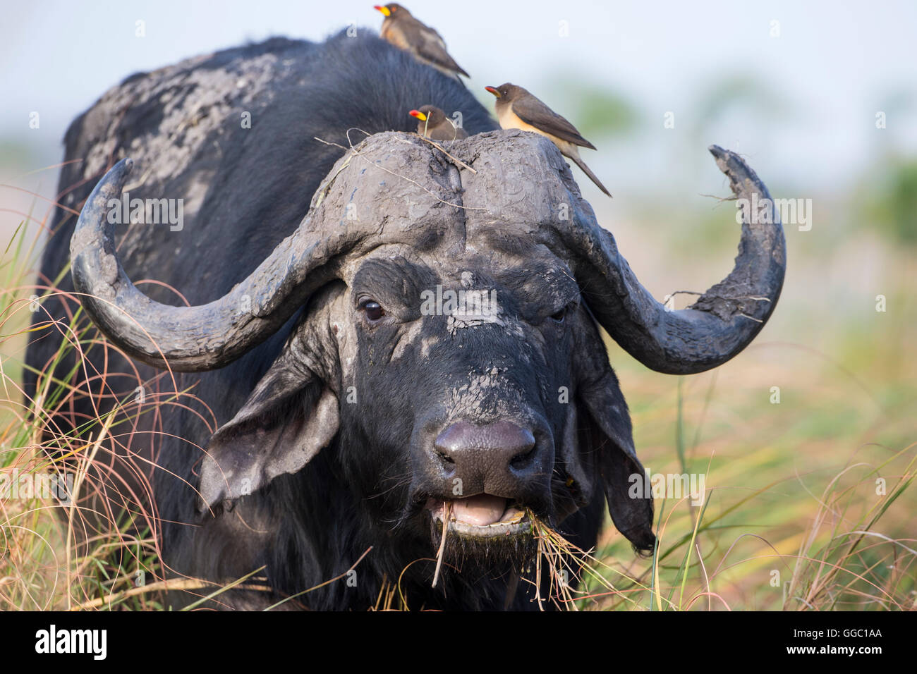 Frontal close up of a Cape Buffalo head Syncerus caffer with Oxpeckers on its head to remove ticks and mites - Stock Image
