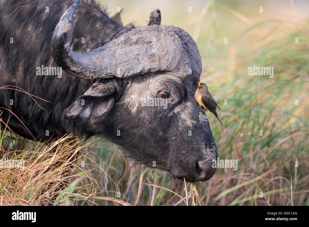 Close up of a Cape Buffalo head Syncerus caffer with an Oxpecker on its face - Stock Image