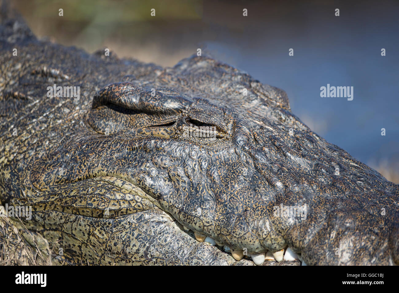 Close up of the head of a Nile crocodile Crocodylus niloticus the second largest reptile in the world - Stock Image