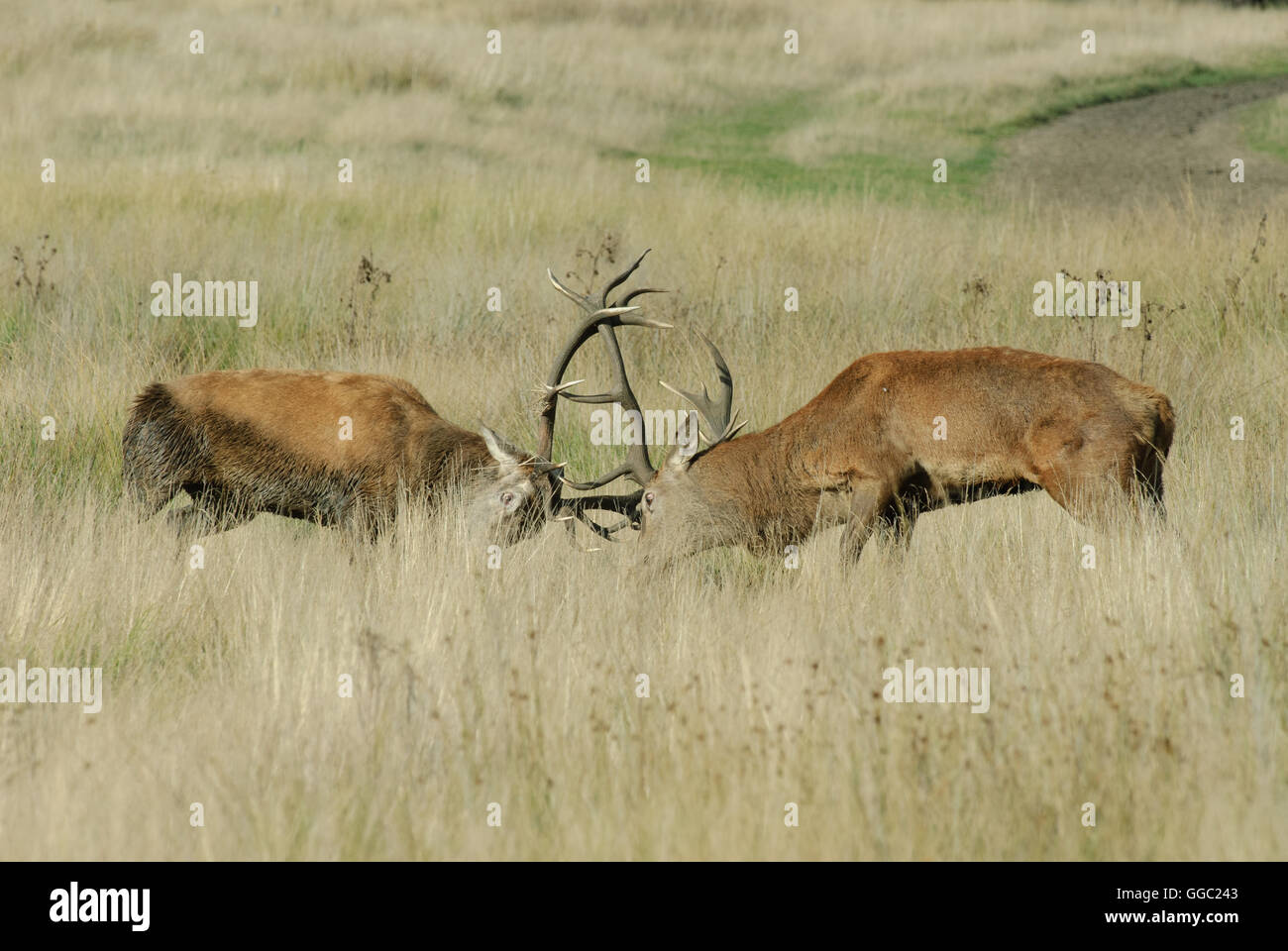 Two fighting Red deer stags during the rutting season Stock Photo
