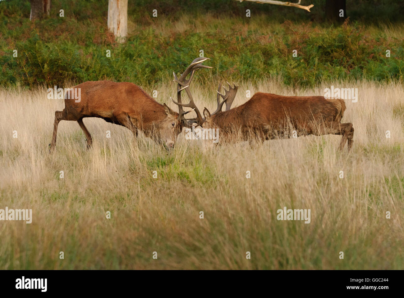 Two fighting Red deer stags during the rutting season - Stock Image
