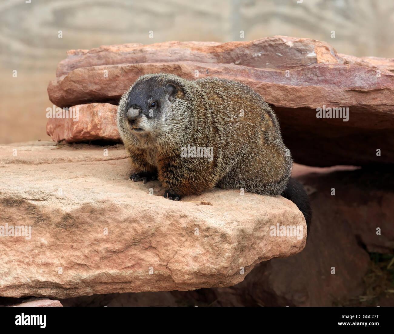 Groundhog, Marmota monax - Stock Image