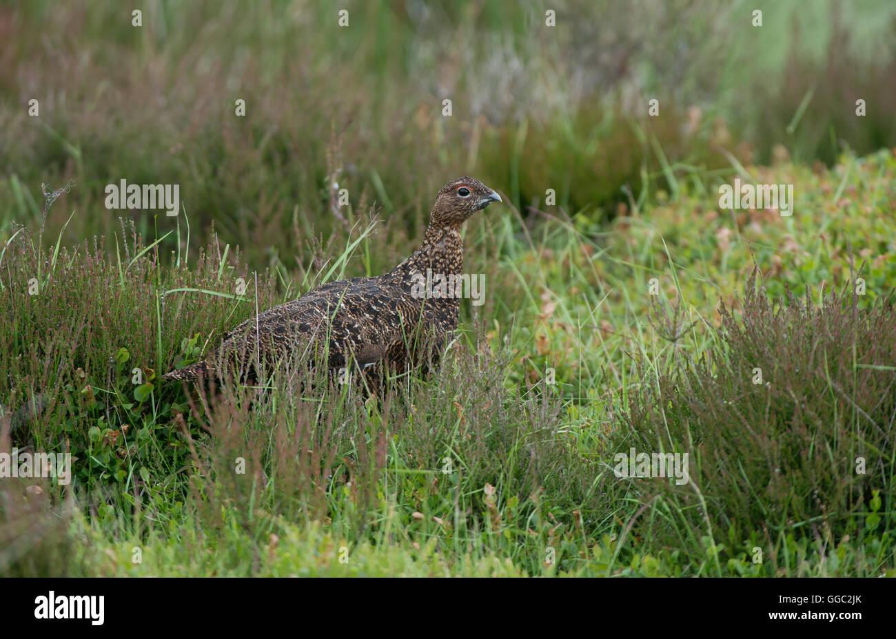 Red Grouse -  Lagopus lagopus scotica. Uk - Stock Image