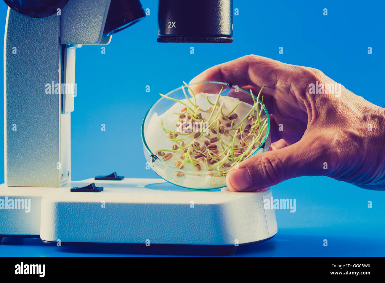 sprouts seeds in a Petri dish under a microscope - Stock Image