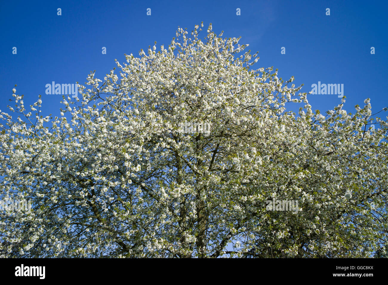 A wild cherry tree in full blossom in Spring - Stock Image