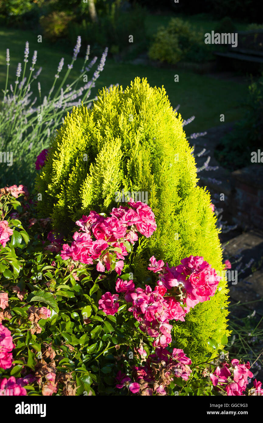 Pink rose Flower Carpet in contrast with companion evergreen conifer - Stock Image