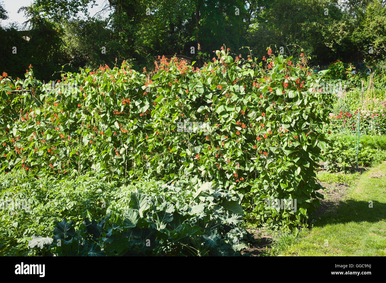 Vegetables including Runner Beans growing in a village allotment garden in Wiltshire UK - Stock Image