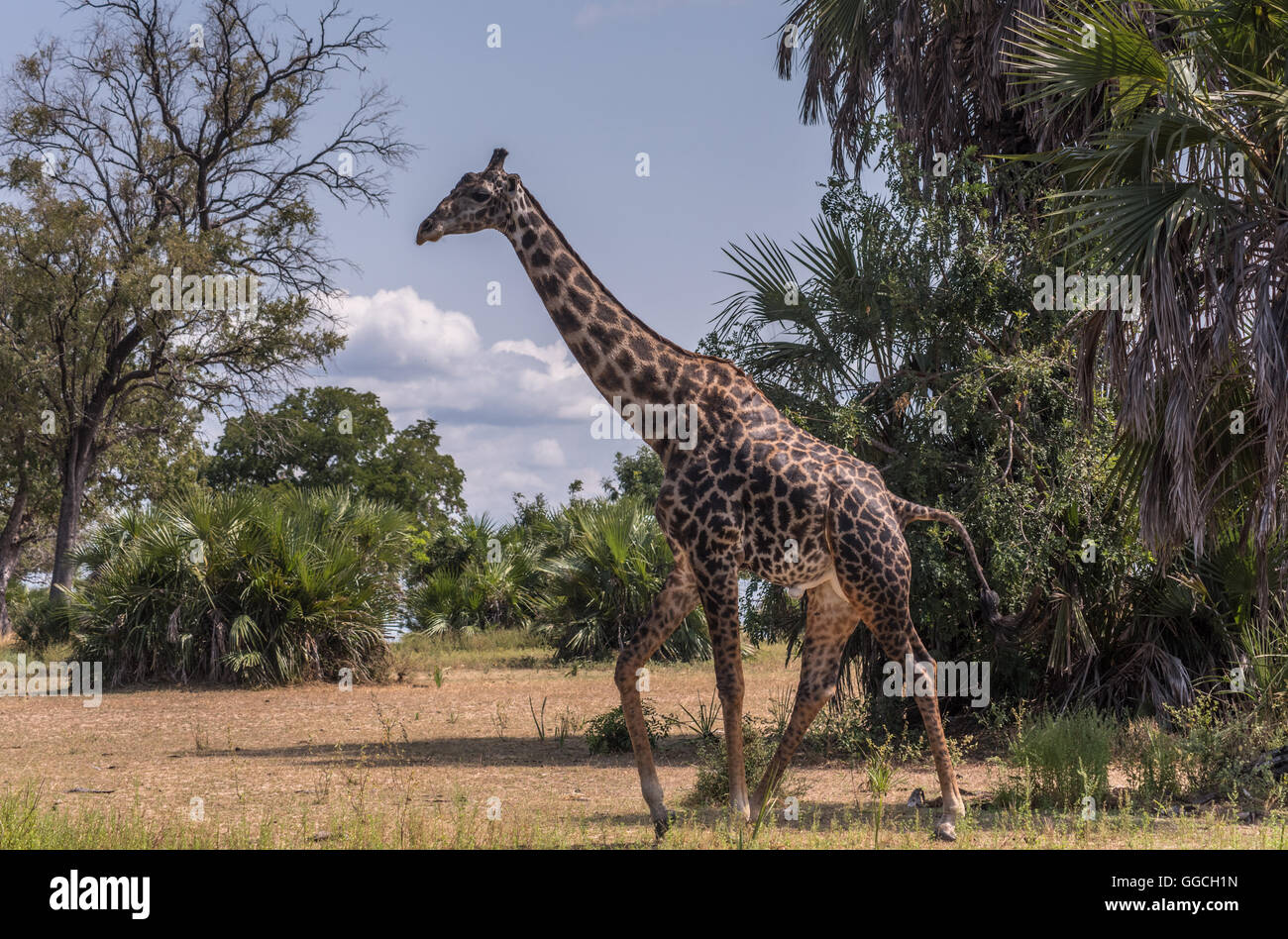Masai Giraffe in the Selous Game Reserve Tanzania Stock Photo