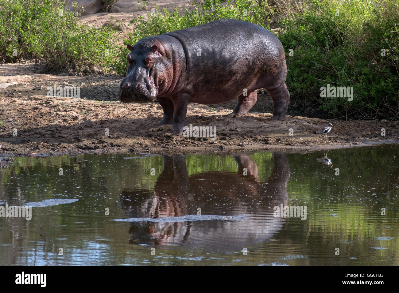 Hippo in the last pool in an otherwise dry river bed - Stock Image