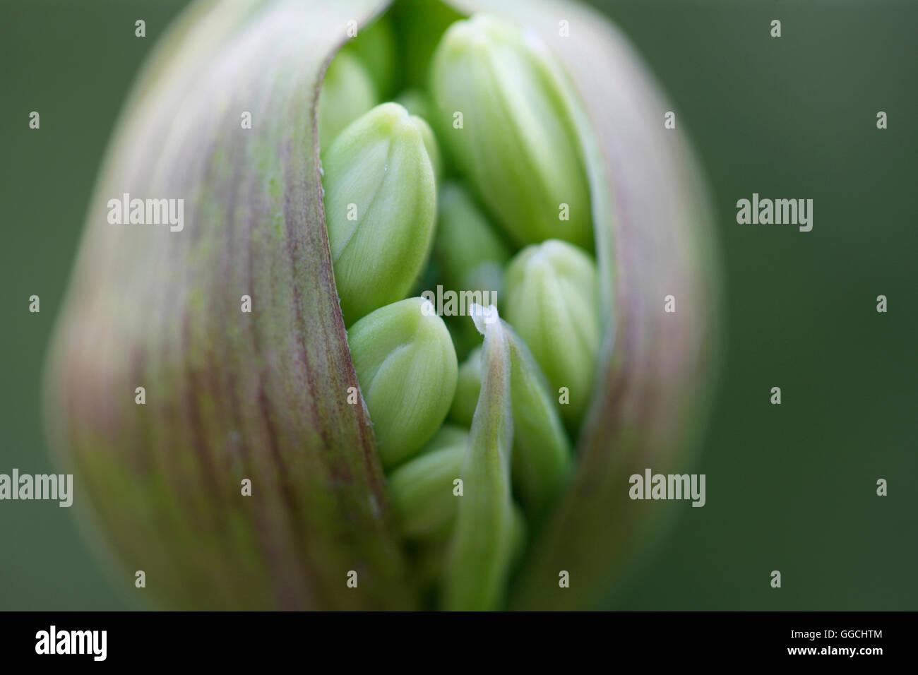 Agapanthus seed pod bursting with nature's energy Jane Ann Butler Photography JABP1536 - Stock Image