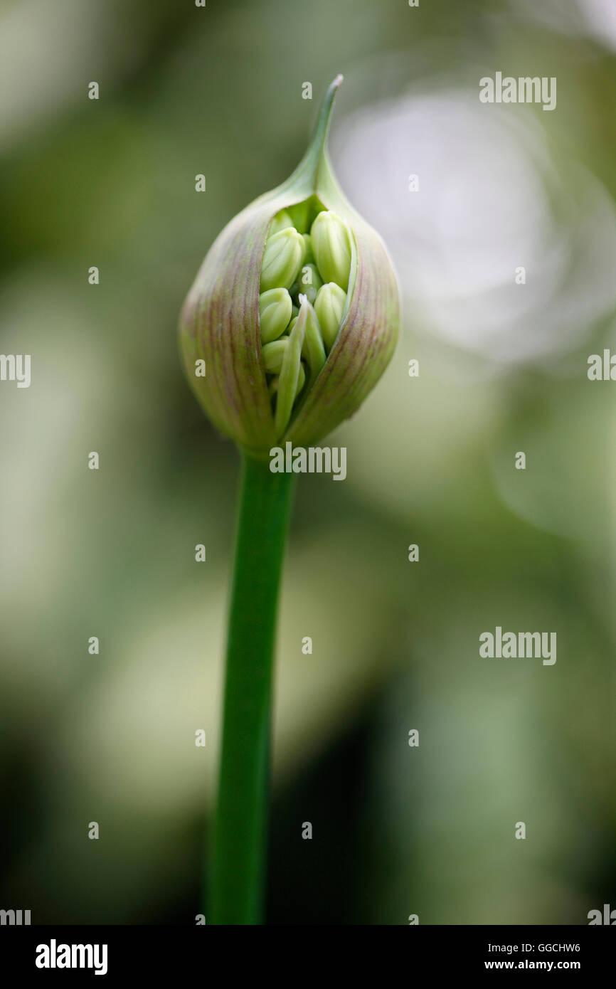 Agapanthus seed pod bursting with nature's energy Jane Ann Butler Photography JABP1535 - Stock Image