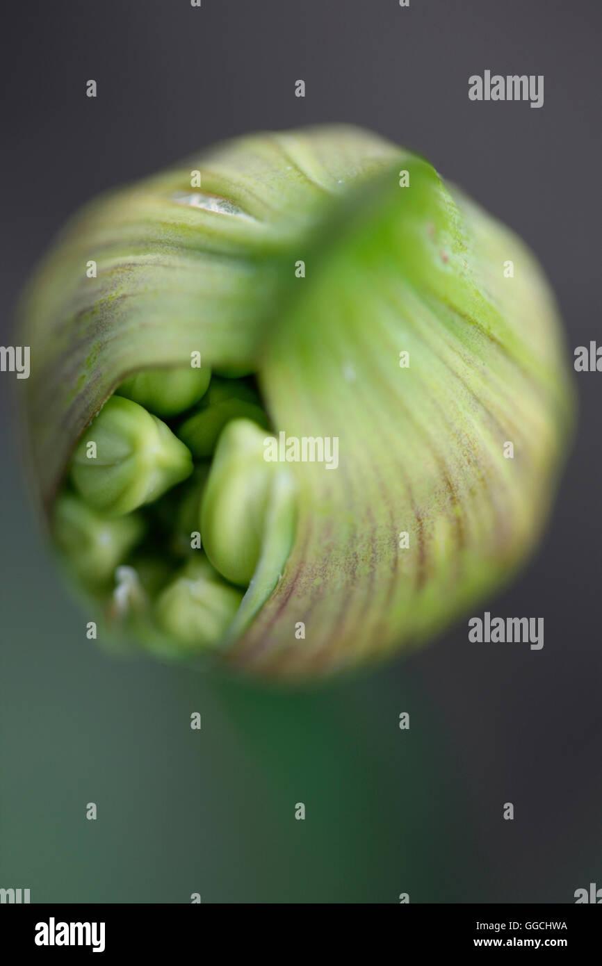 Agapanthus seed pod bursting with nature's energy Jane Ann Butler Photography JABP1537 - Stock Image
