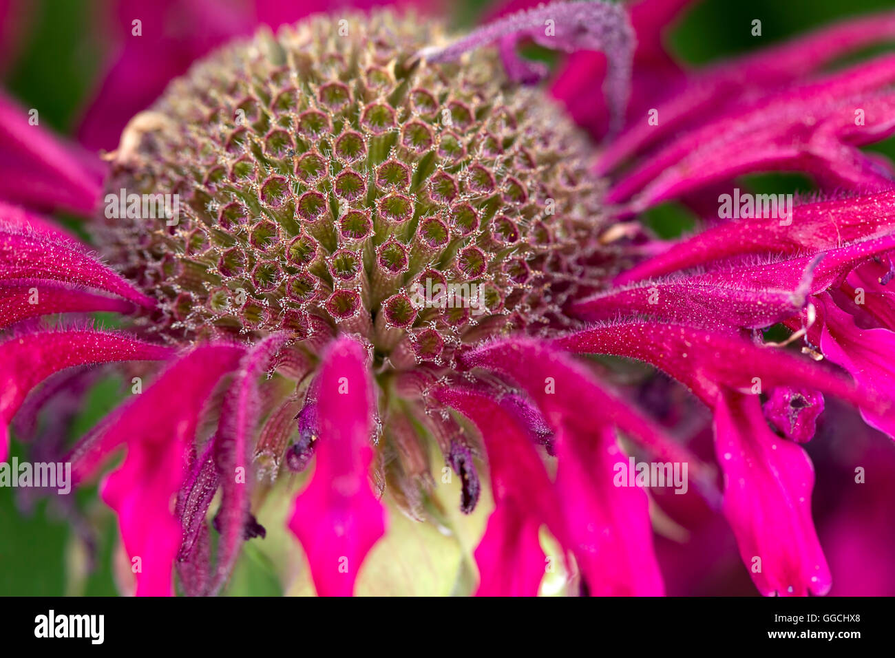 A close up view of the flower of a bee balm plant. - Stock Image