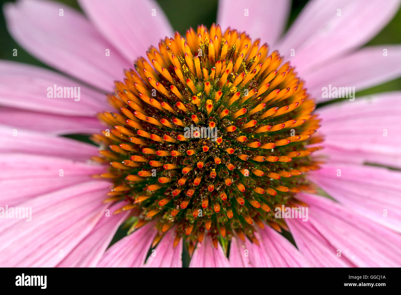 Abstract view of cone flower. - Stock Image