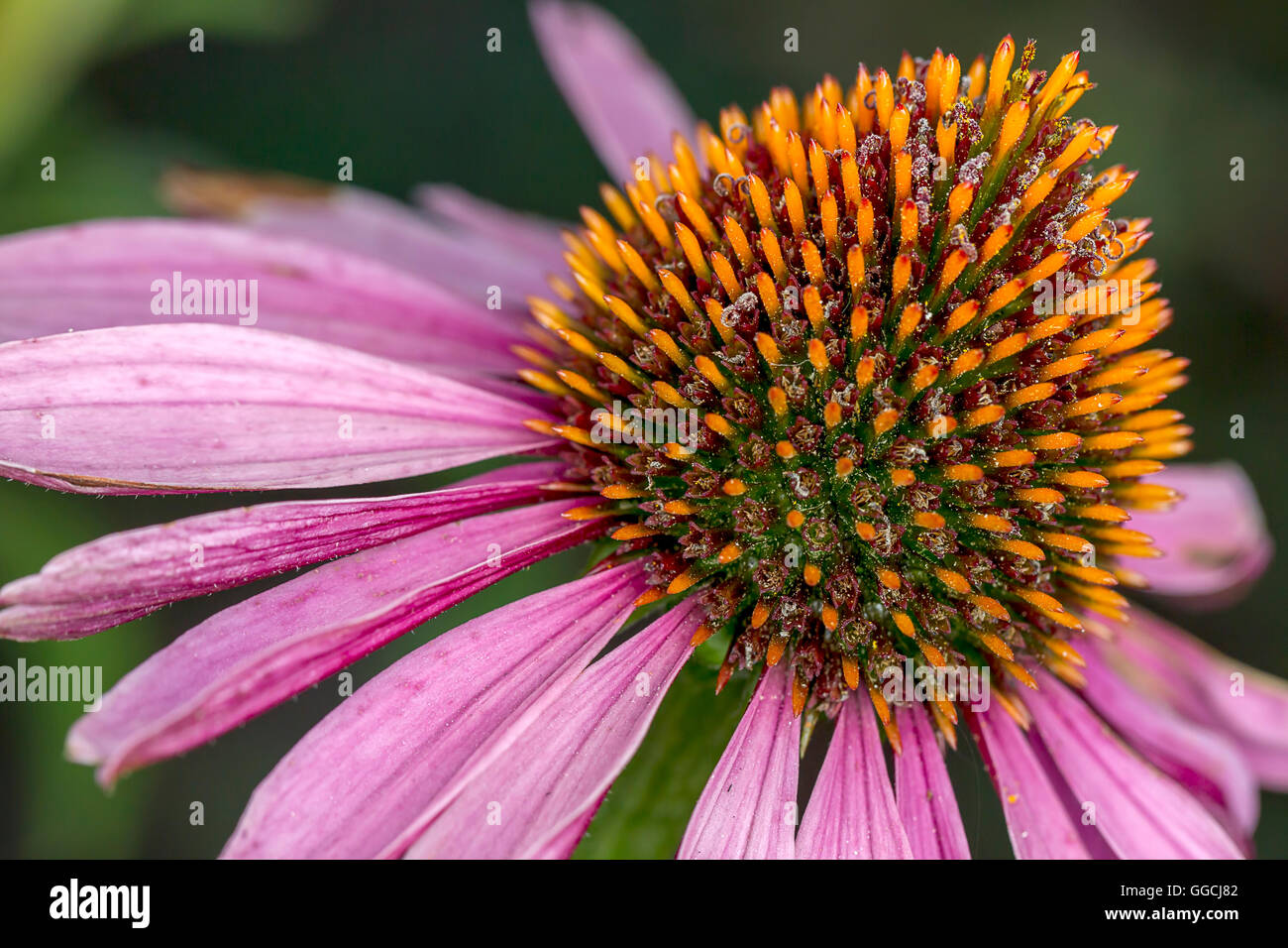 Detailed view of cone flower. - Stock Image