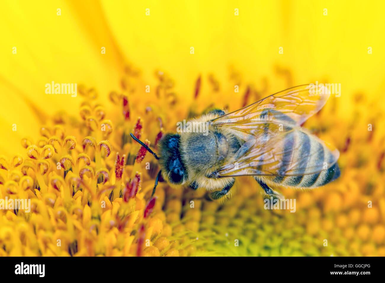 Bee gathers pollen. - Stock Image