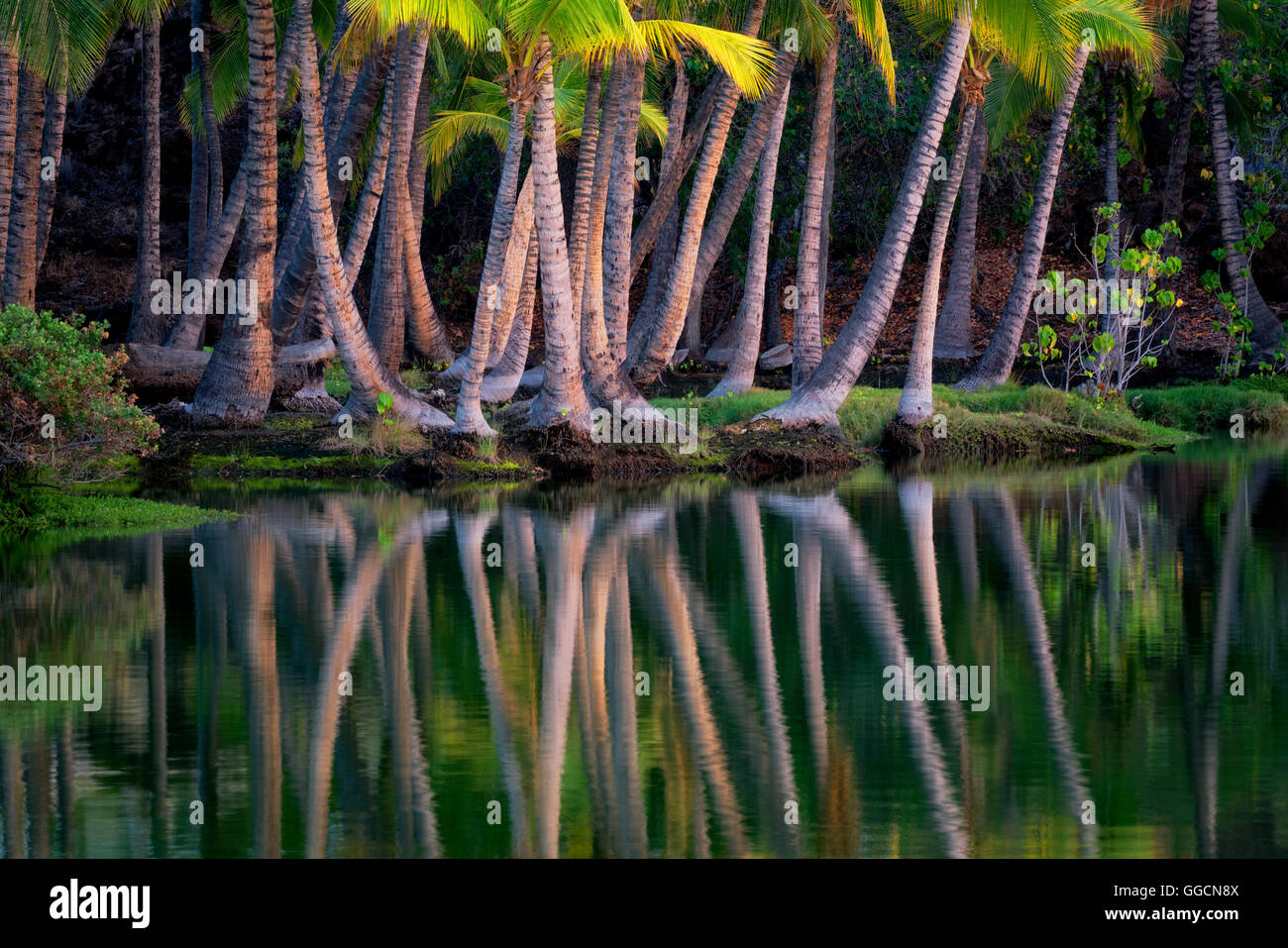 Palm trees reflecting in water of Lahuipua'a and Kaaiopio Ponds. Hawaii Island - Stock Image