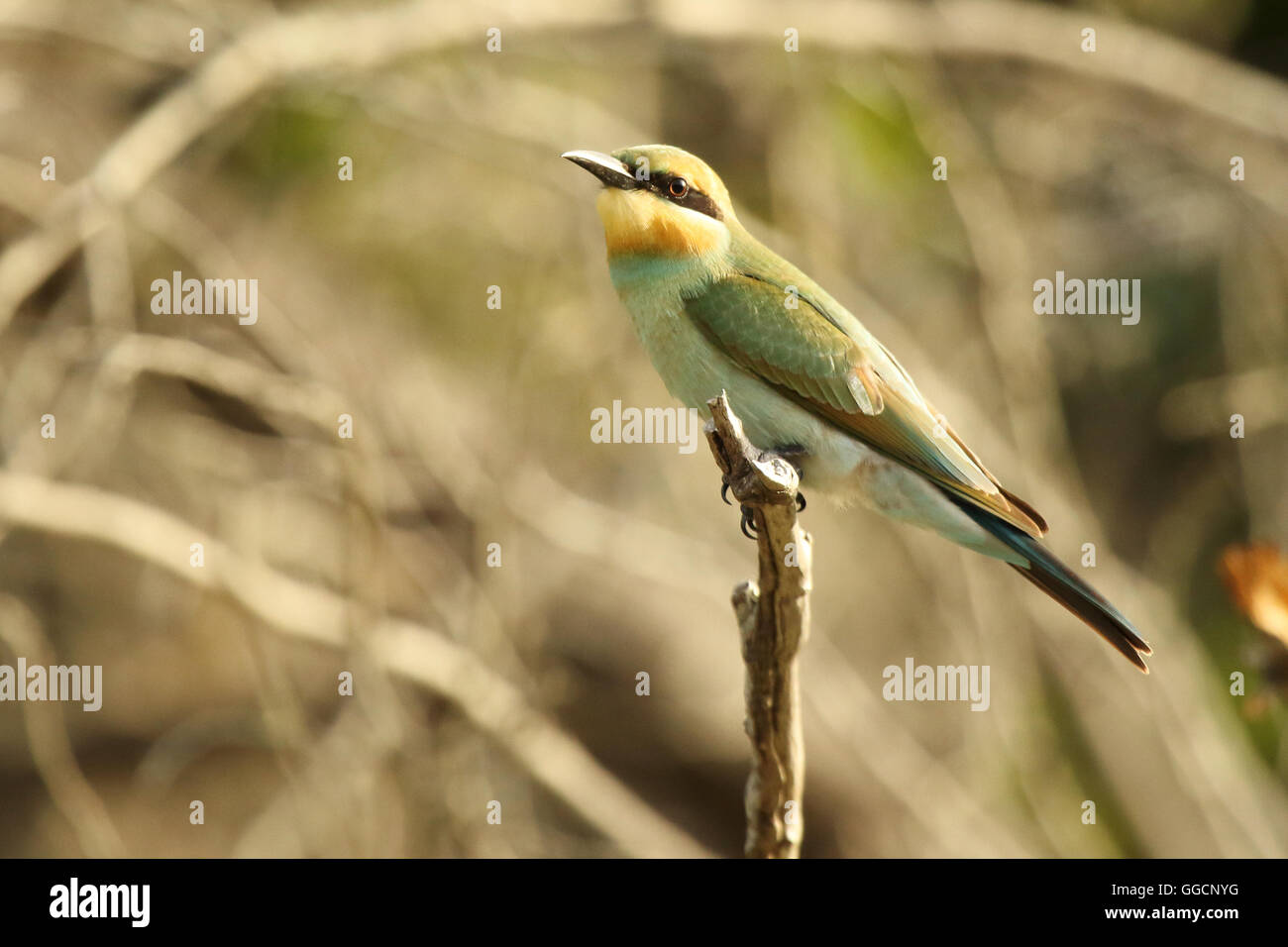 A Rainbow Bee-eater leaning forward on a perch. - Stock Image