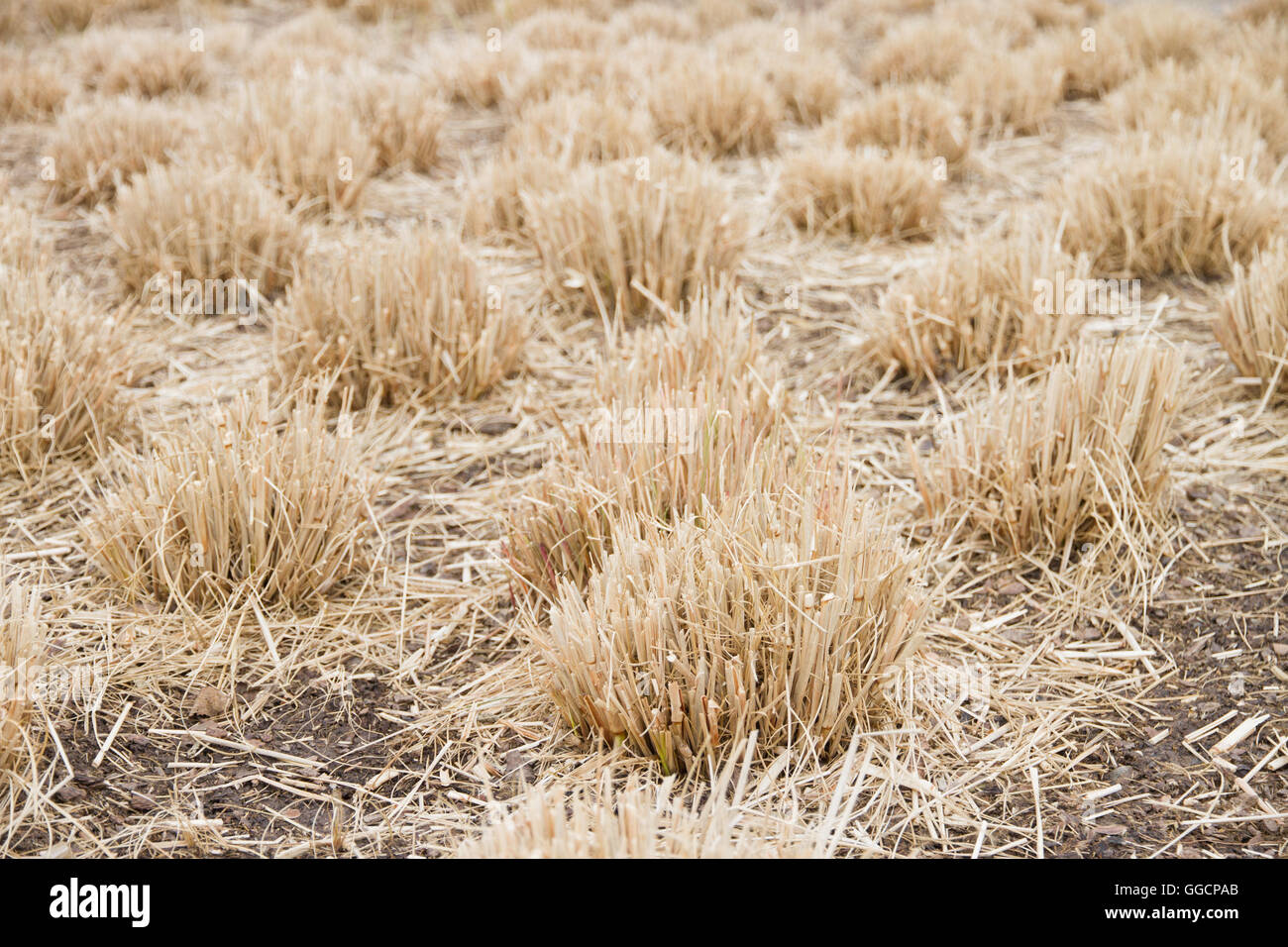 dry grass field background. Dry Grass Bundles As A Background - Stock Image Field D