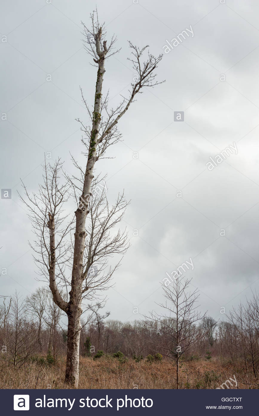 Lone tree against dull sky - Stock Image