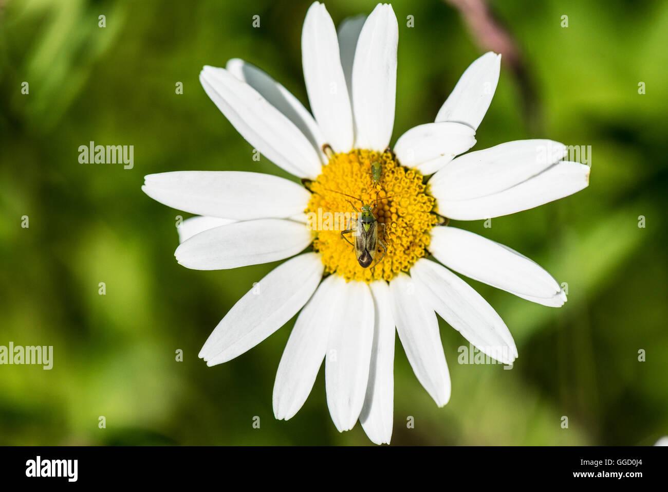 Common green capsid (Lygocoris pabulinus Miridae) on an ox-eyed daisy (Leucanthemum vulgare) - Stock Image