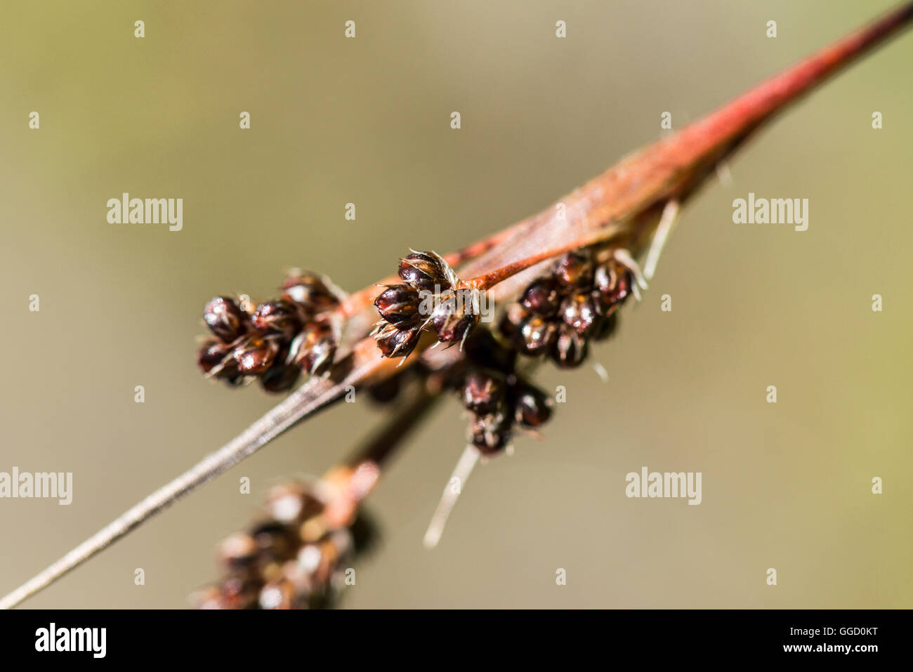 Close up of field wood-rush (Luzula campestris) - Stock Image