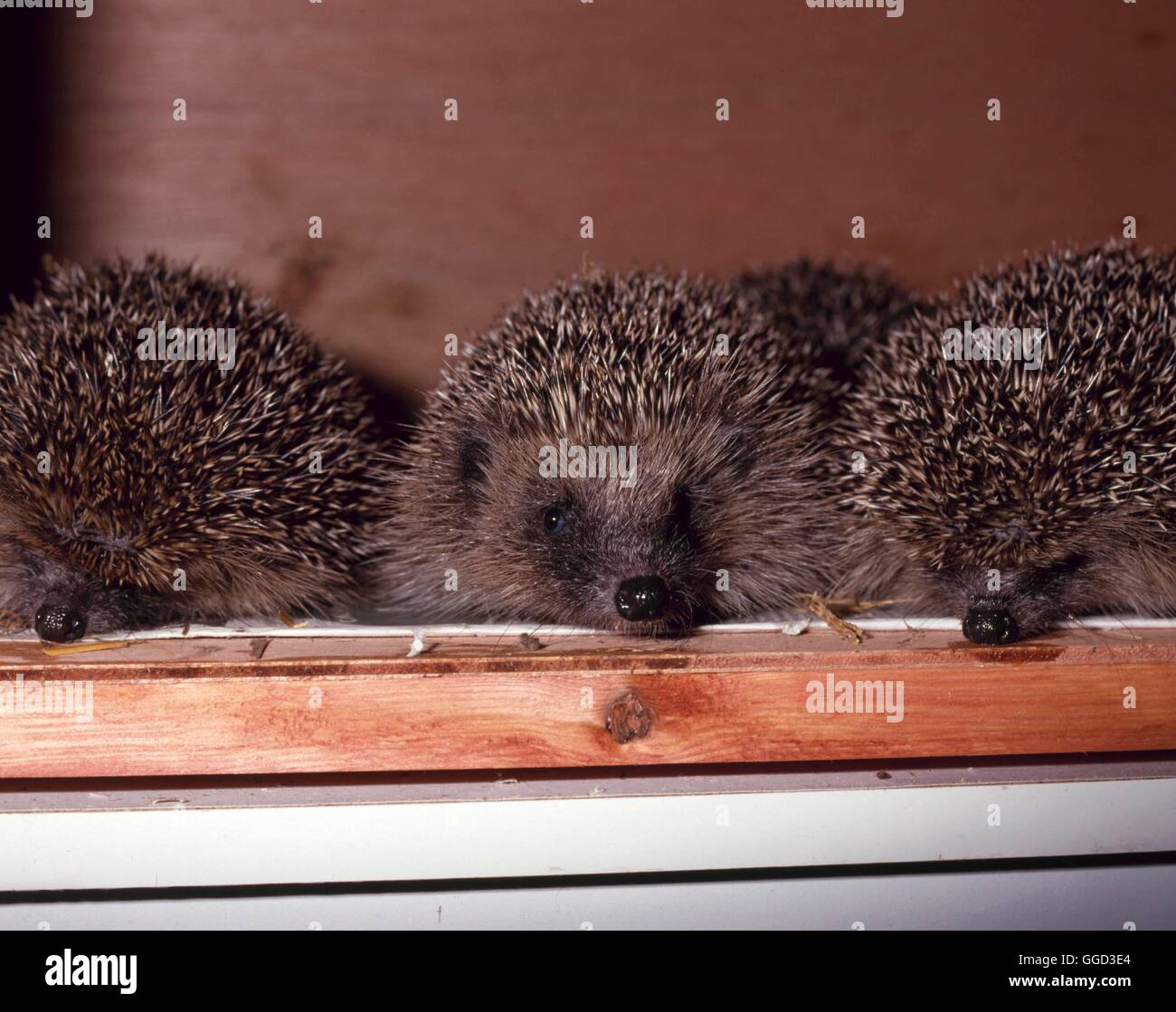 Hedgehog - (Erinaceus europaeus)   ANI080165 - Stock Image
