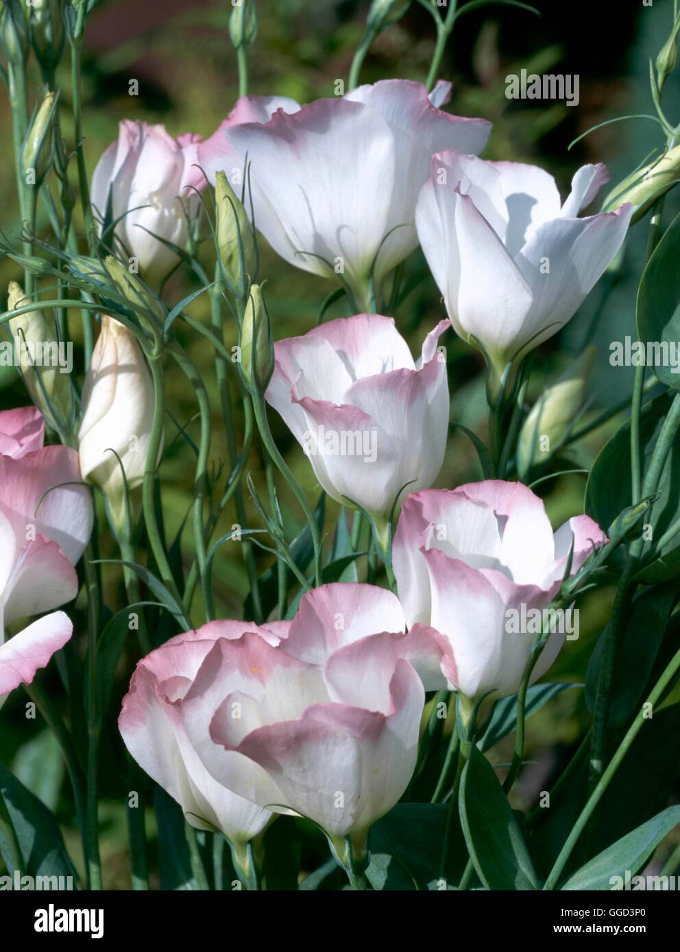 Eustoma grandiflorum   ANN057541 - Stock Image