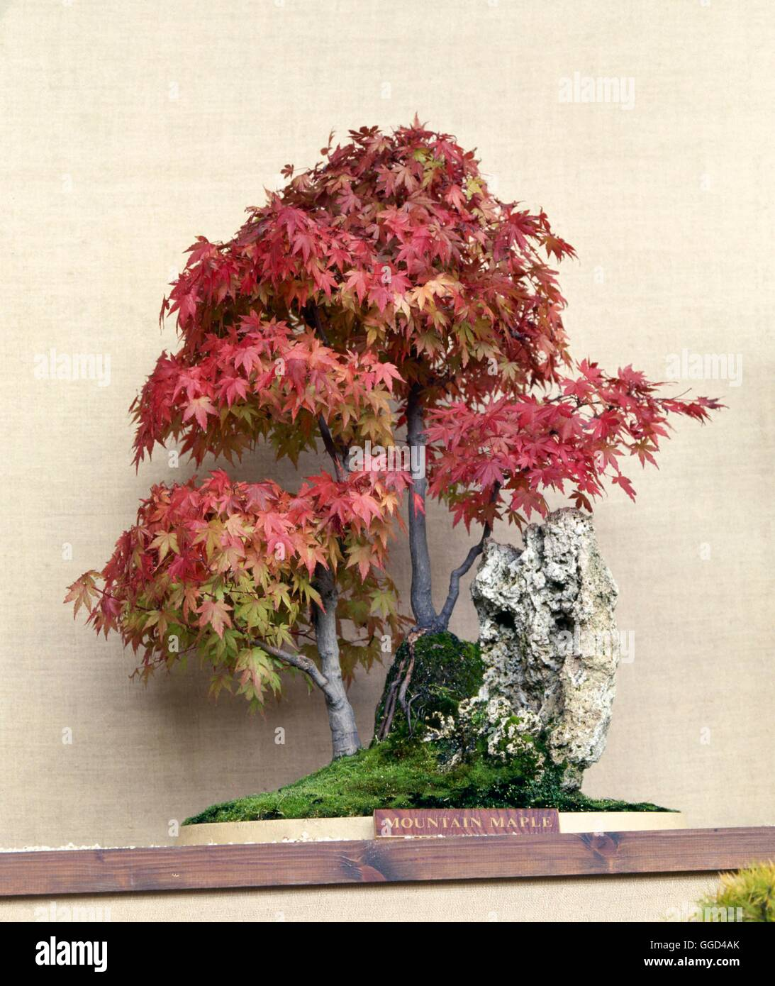 Bonsai Acer Spicatum Mountain Maple Bon061338 Stock Photo