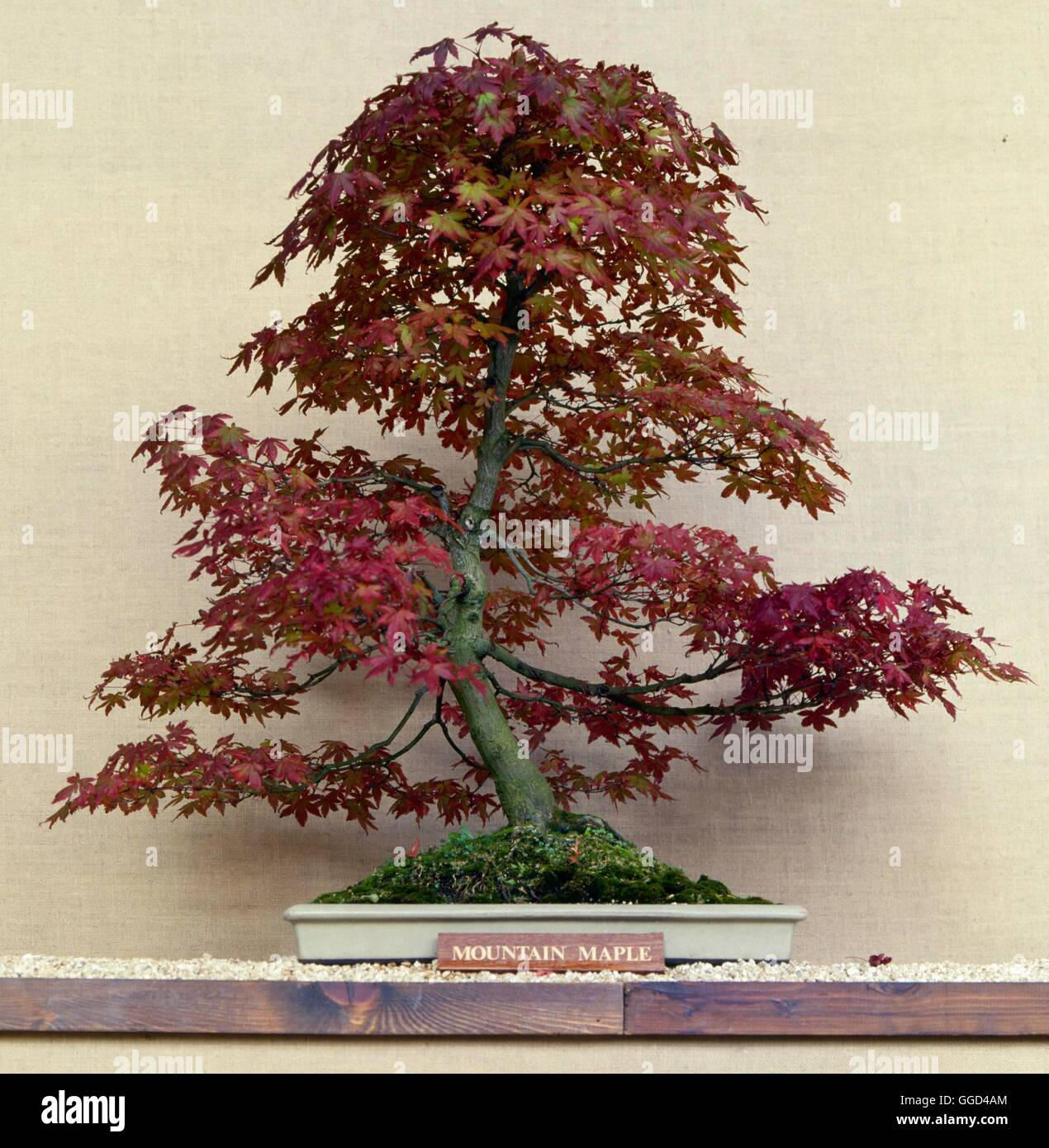 Bonsai Acer Spicatum Mountain Maple Bon061339 Stock Photo