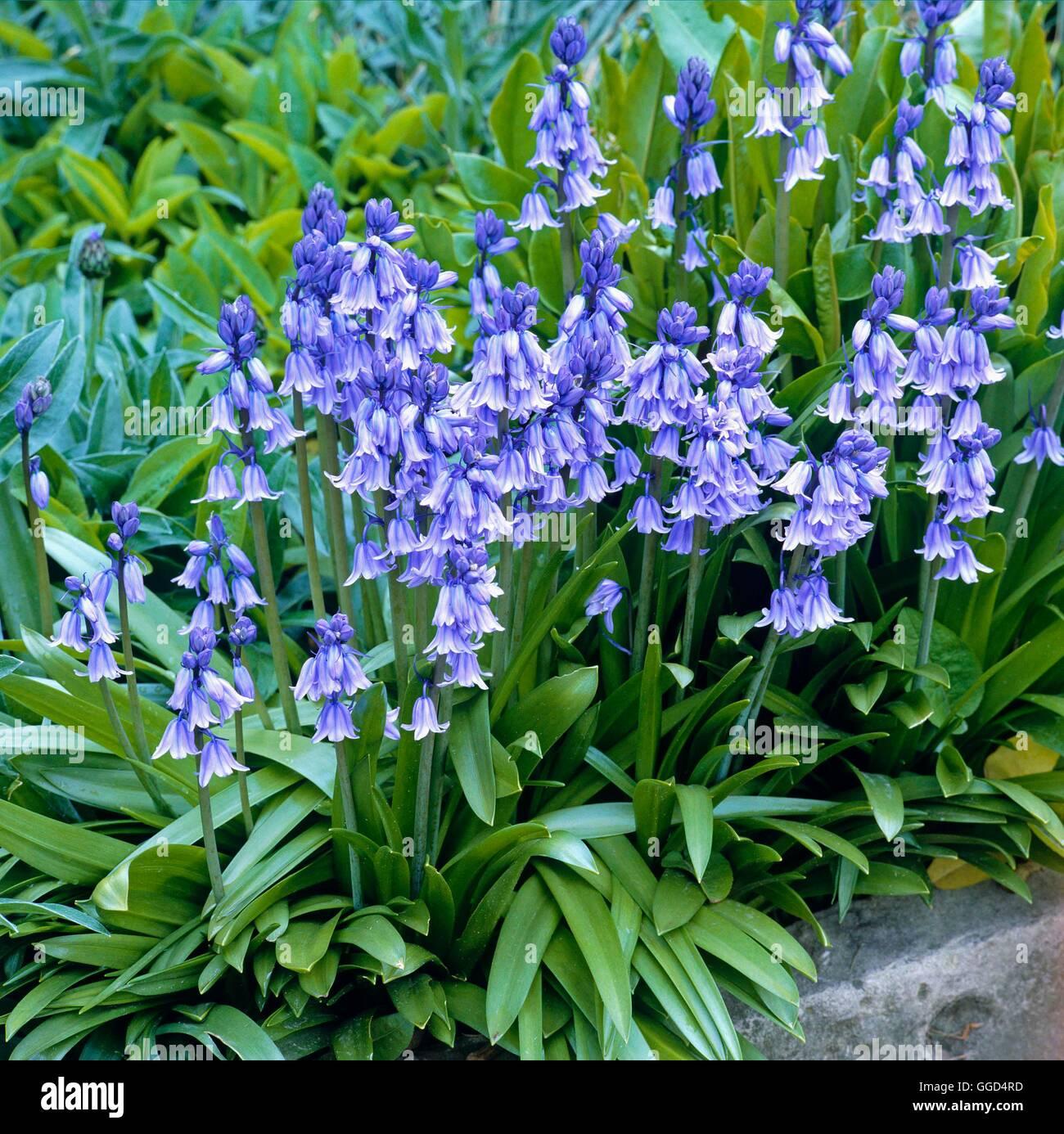 Hyacinthoides hispanica - Spanish Bluebell   BUL043571 Stock Photo