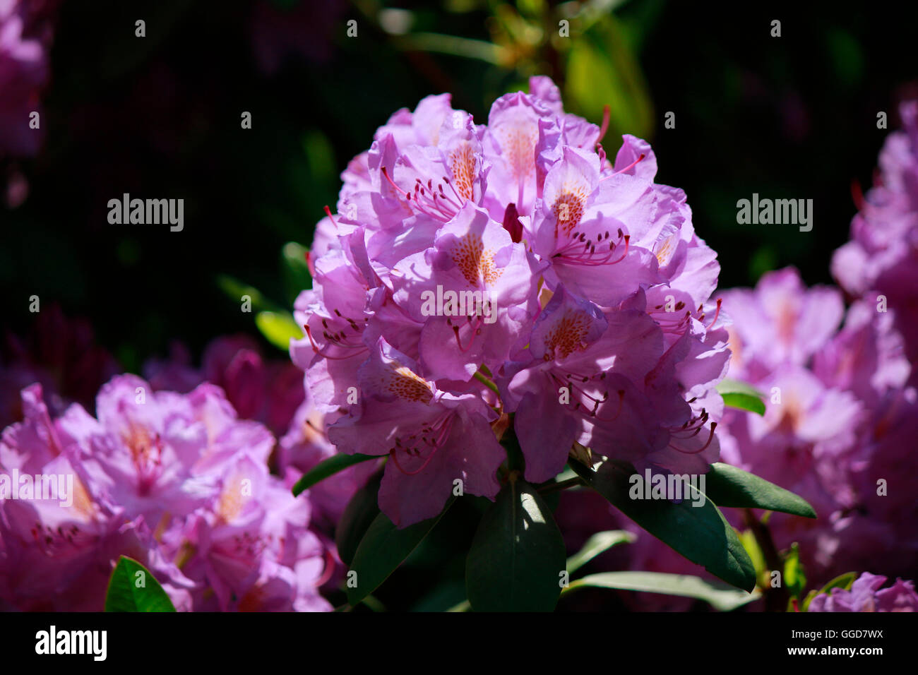 Rhododendron, Berlin. - Stock Image