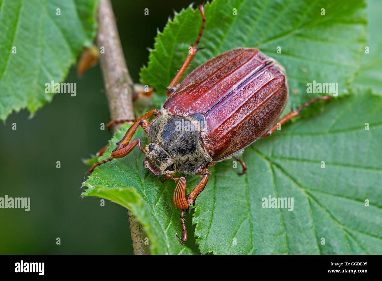 Common cockchafer / May bug (Melolontha melolontha) on leaf Stock Photo