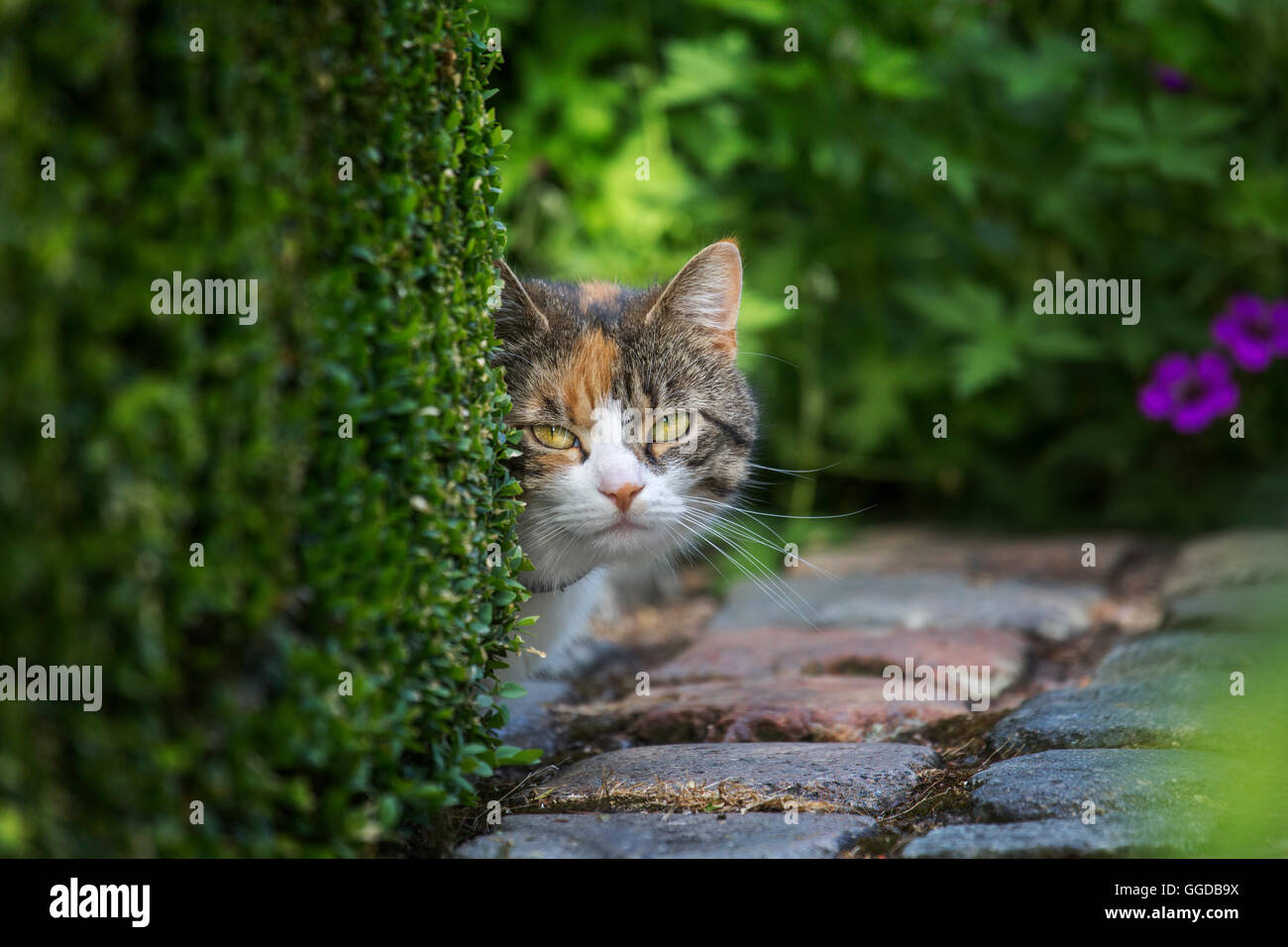 Curious but shy domestic cat looking from behind hedge in garden in summer - Stock Image