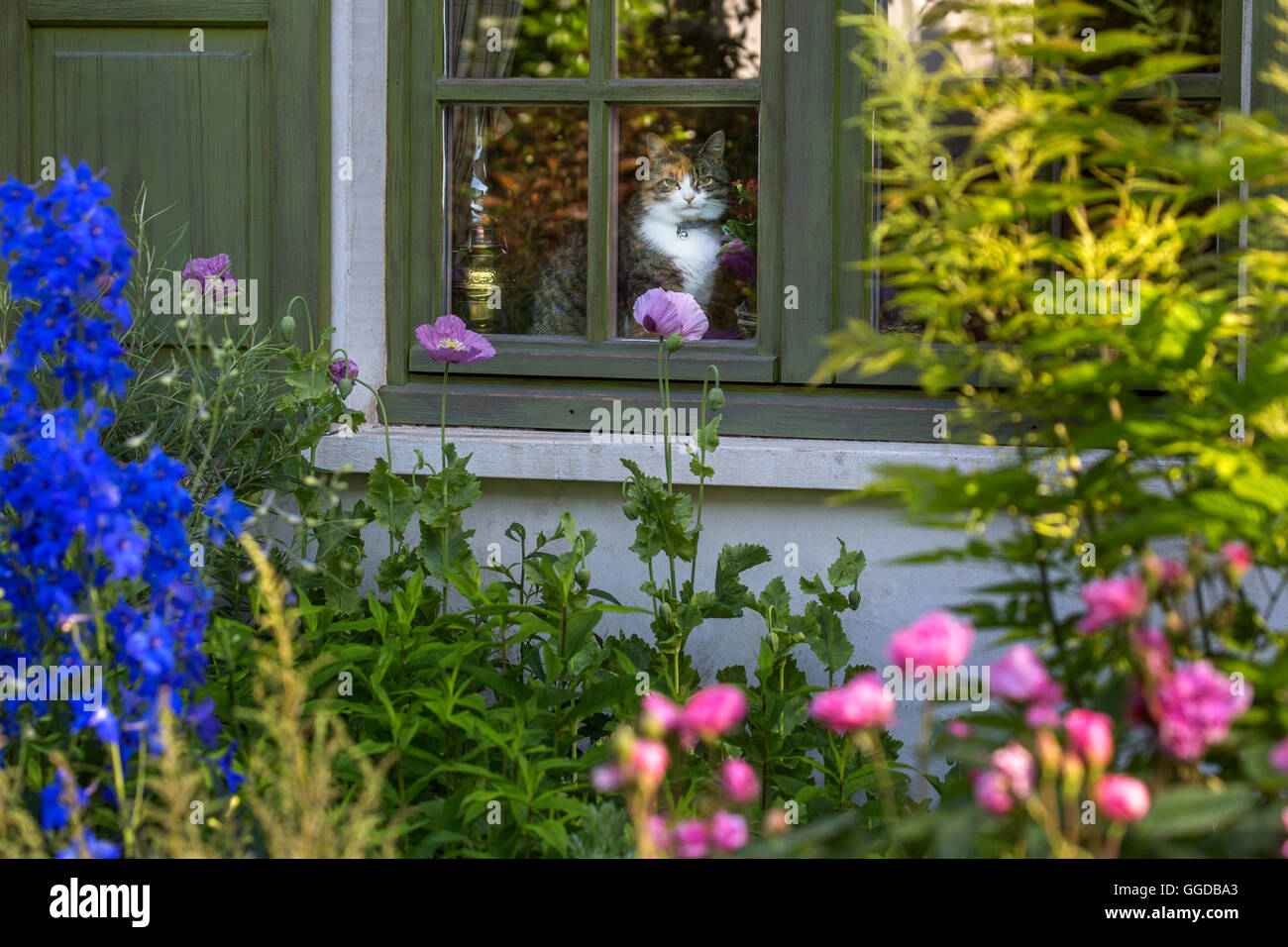 Domestic cat sitting in house and looking through window over garden in summer - Stock Image