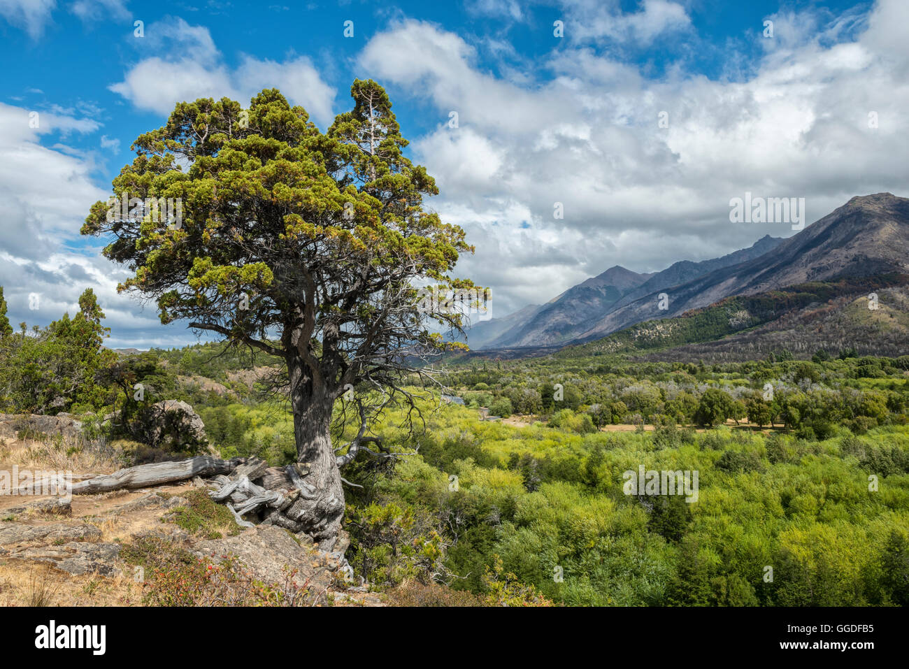 South America, Argentina, Patagonia, Chubut, Esquel, Los Alerces National Park - Stock Image