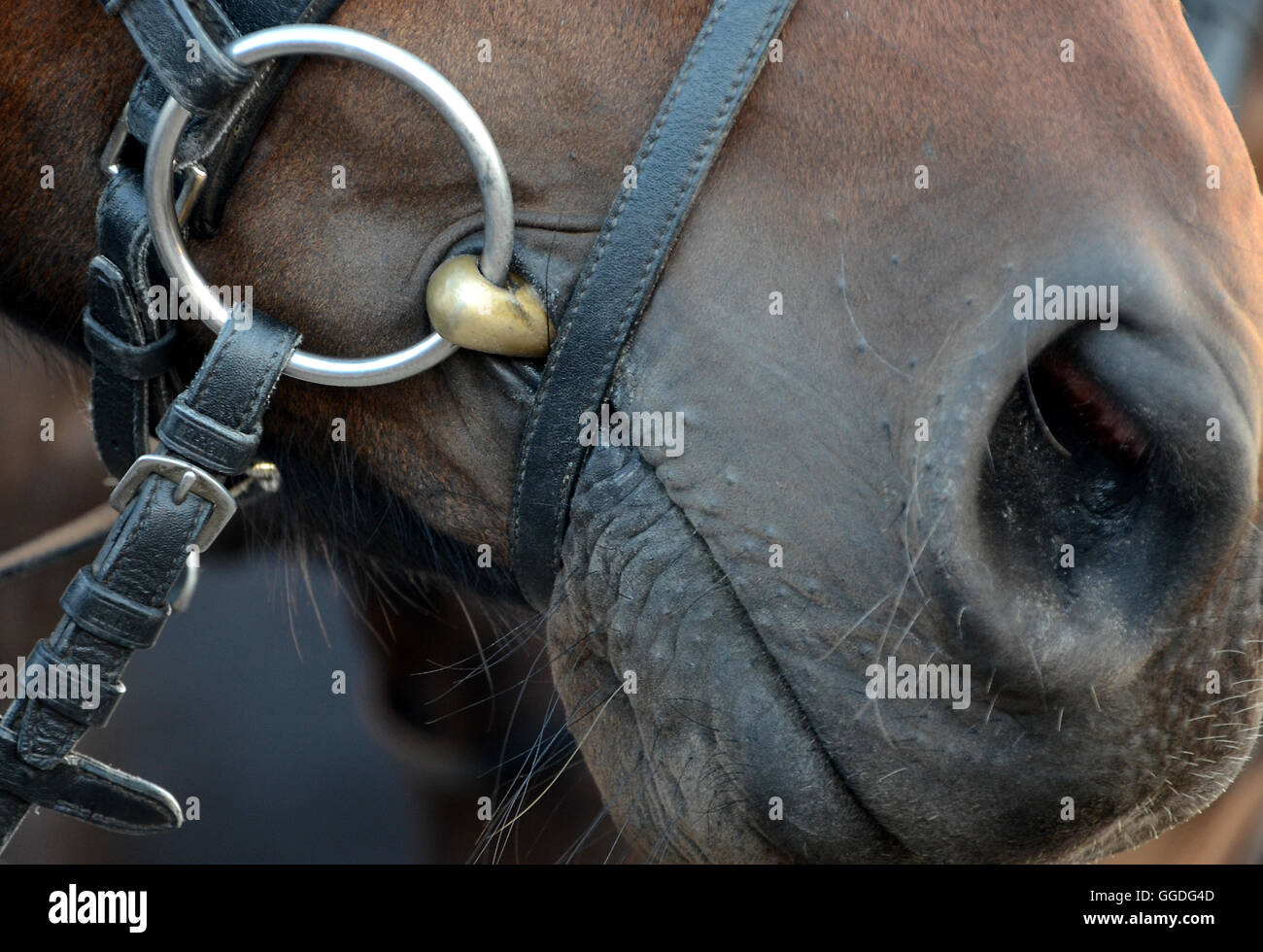 Horse with a bit in the mouth. - Stock Image