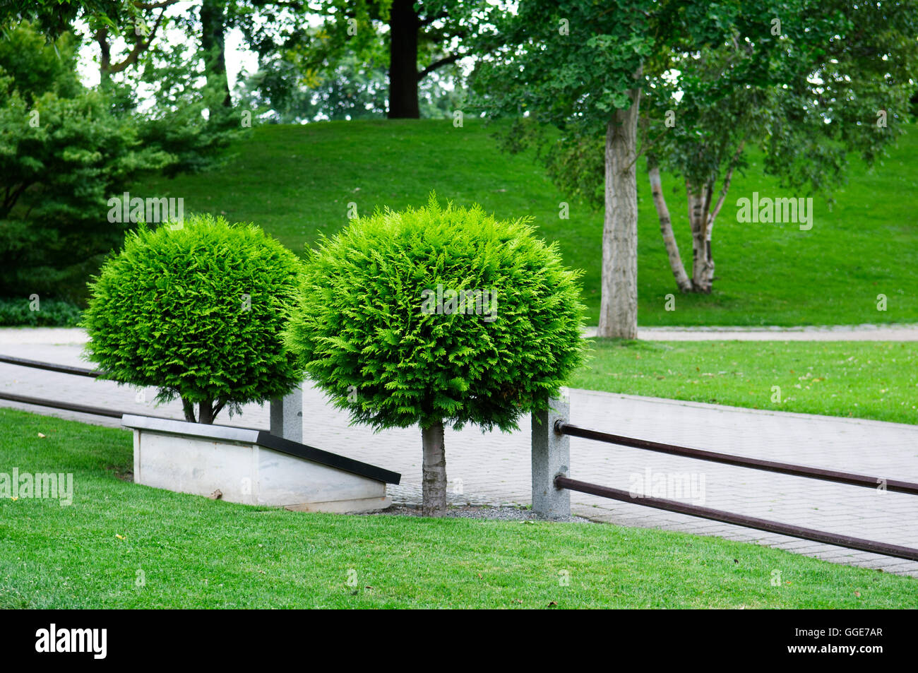 small spherical arborvitae in the park - Stock Image