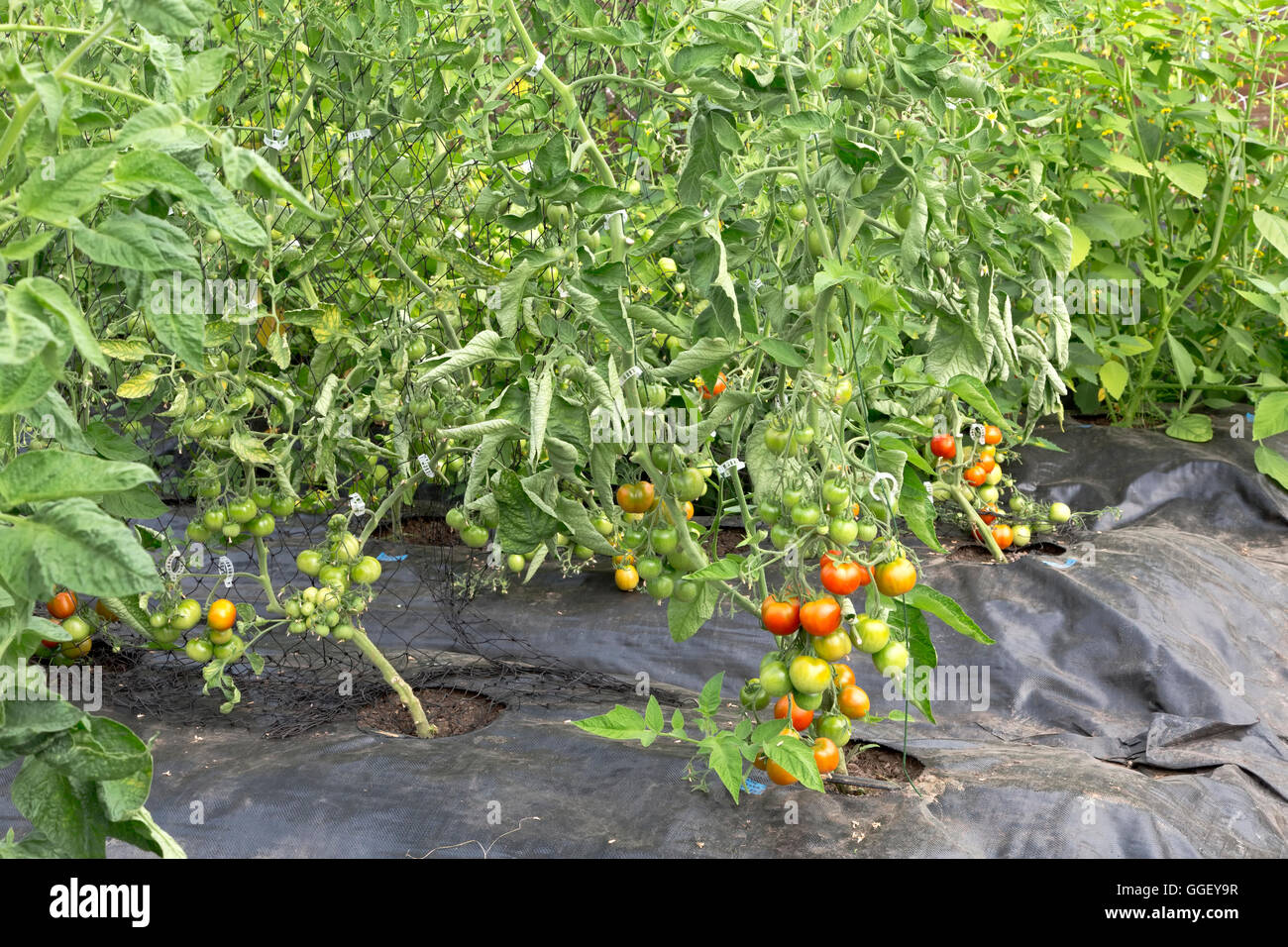 Trellised tomatoes growing in tunnel, plastic sheeting, - Stock Image