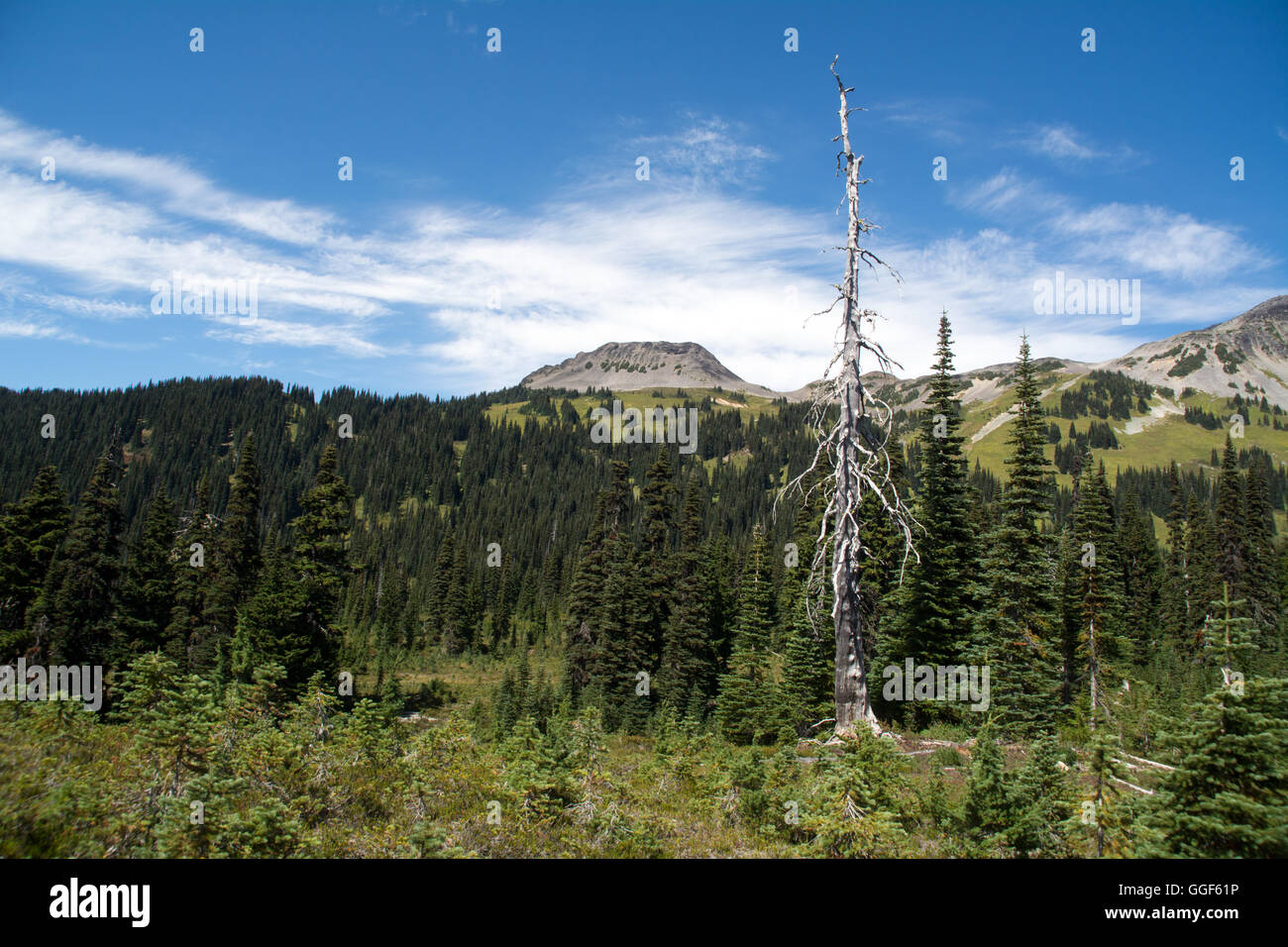 A dead tree in a mountain meadow and landscape in the sub-alpine area of Garibaldi Provincial Park, British Columbia, - Stock Image