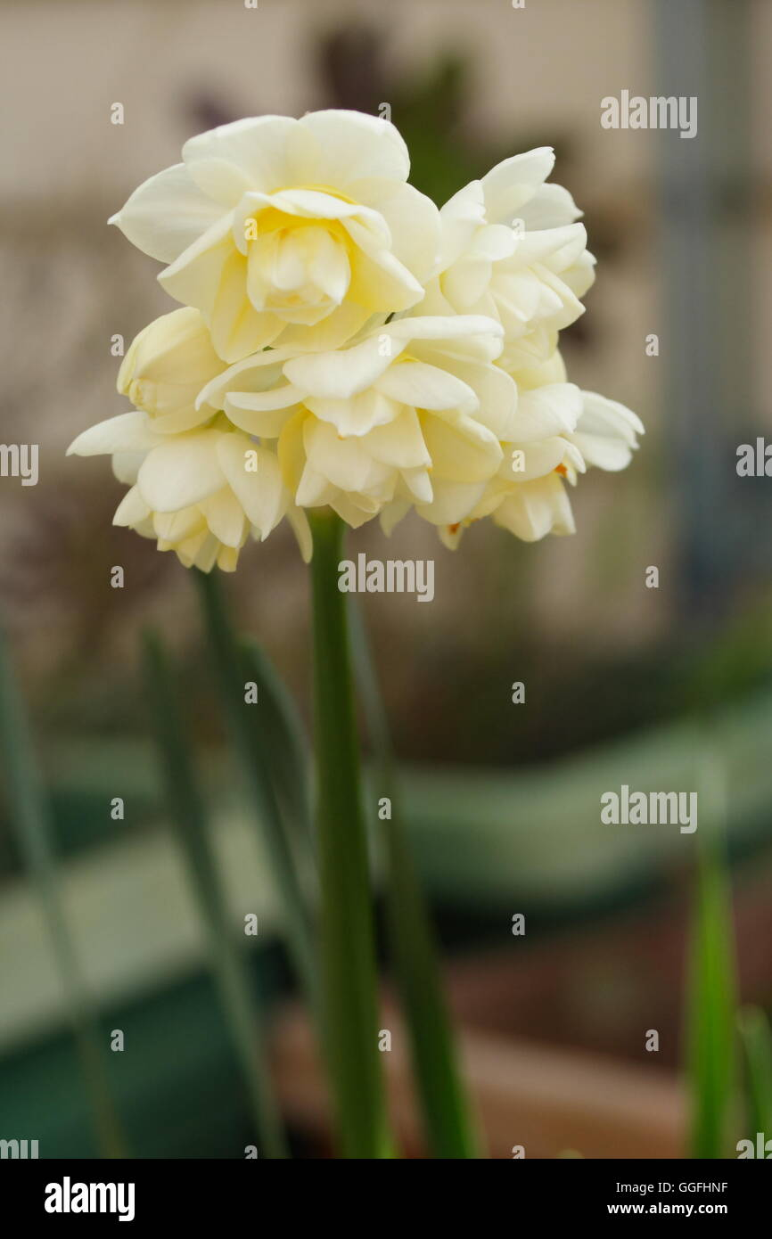 Jonquils narcissus blooming late winter Stock Photo