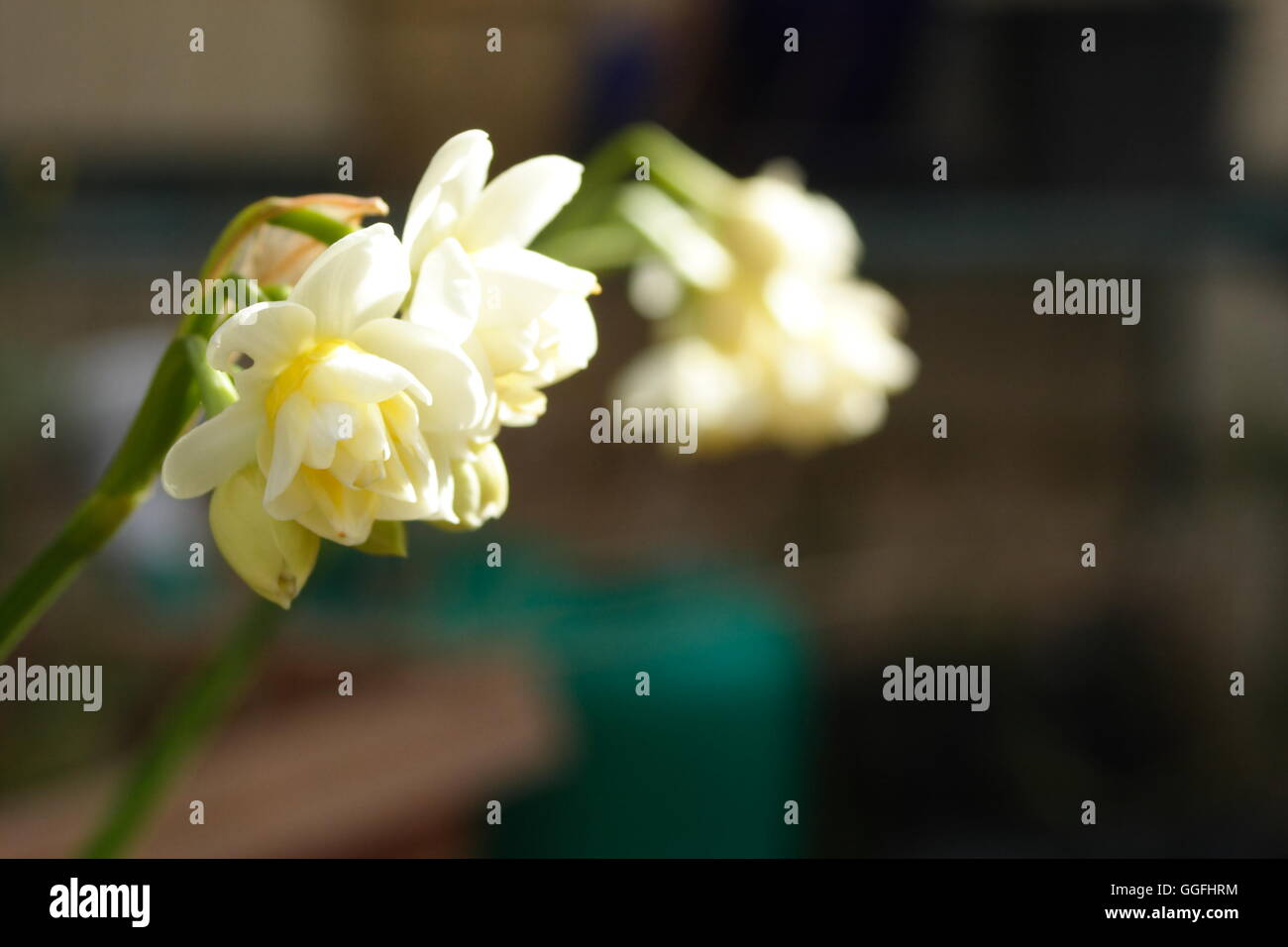 Jonquils narcissus blooming Stock Photo