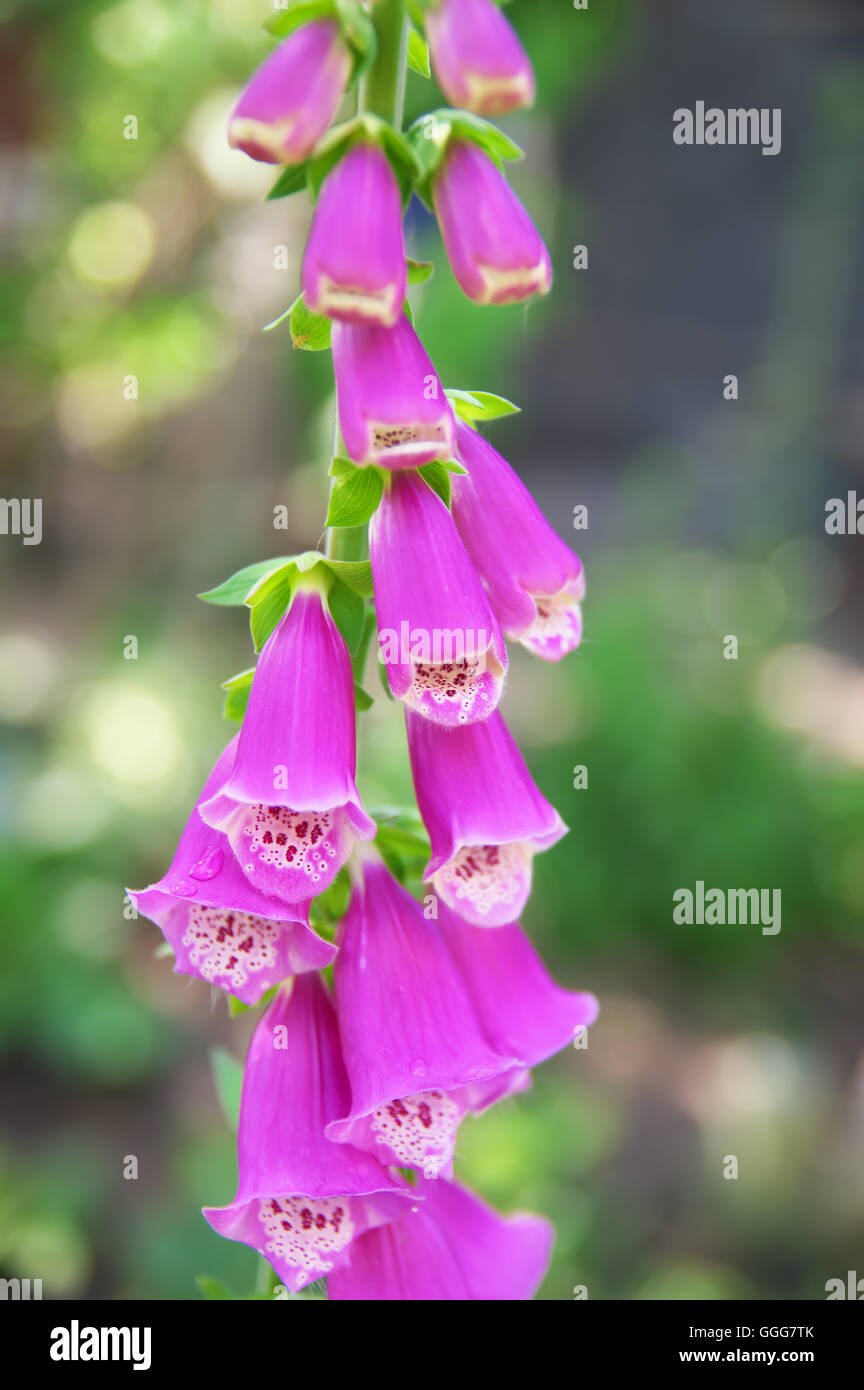 Beautiful pink foxglove blooming flower in the garden stock photo beautiful pink foxglove blooming flower in the garden mightylinksfo