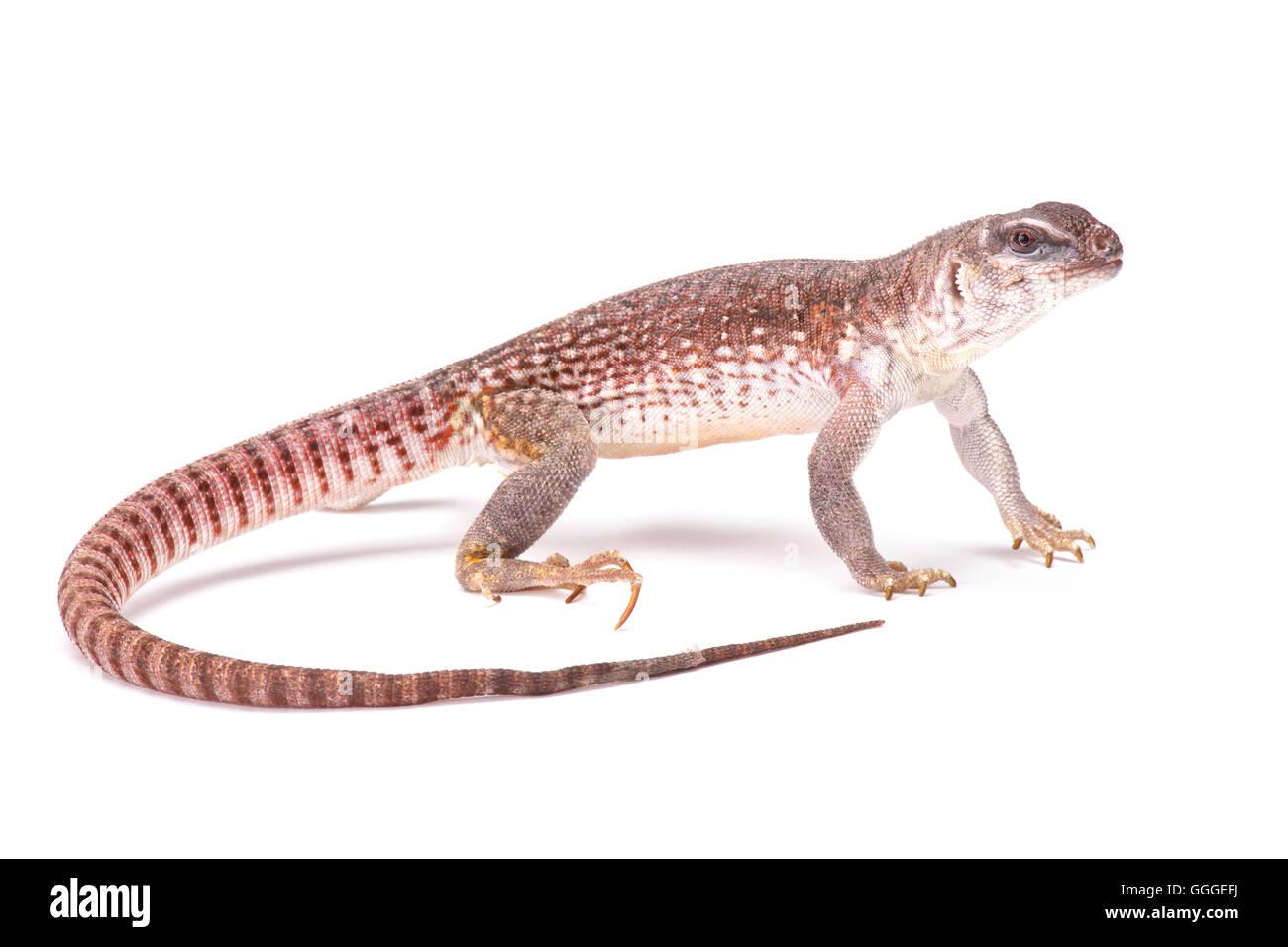 Desert iguana  (Dipsosaurus dorsalis) - Stock Image