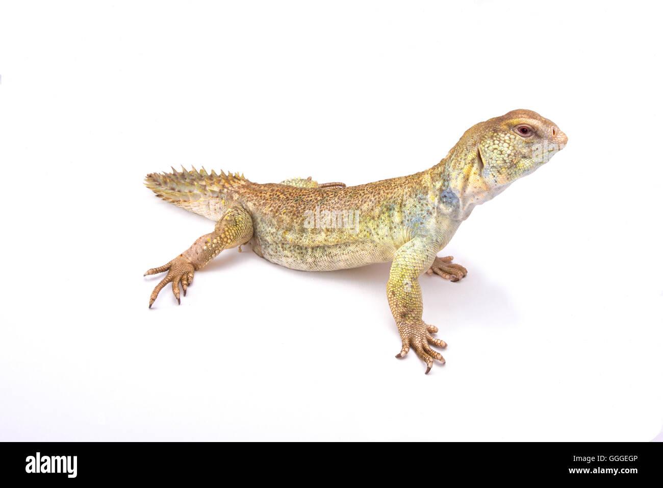 Princely spiny-tailed lizard (Uromastyx princeps) - Stock Image