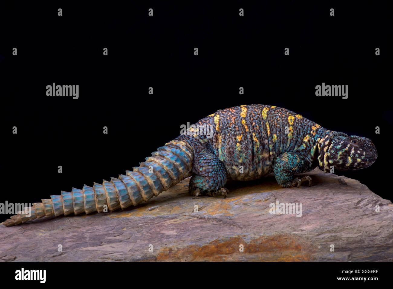 Ornate spiny-tailed lizard  (Uromastyx ornata ornata) - Stock Image