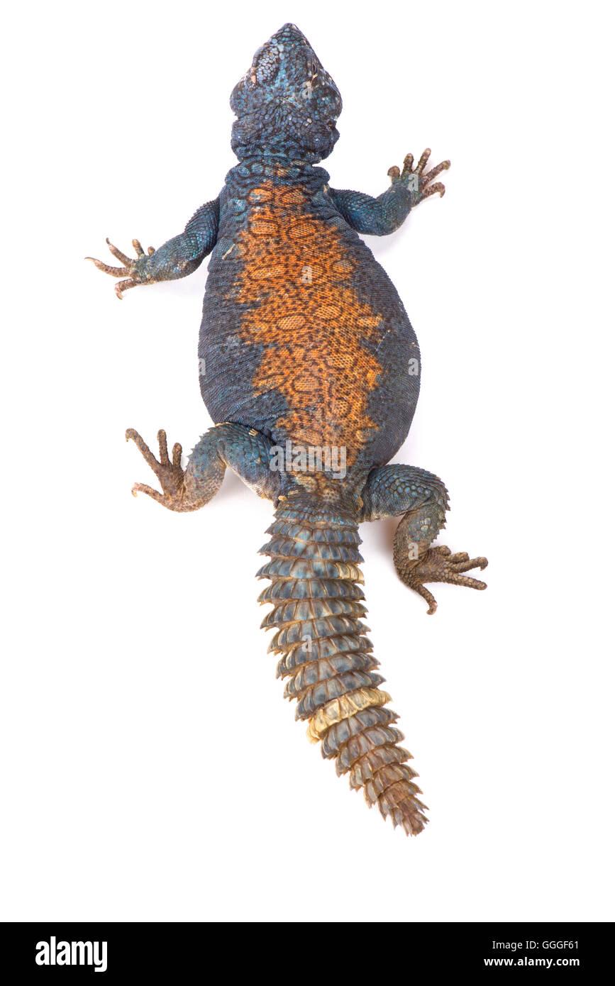 Arabian blue mastigure  (Uromastyx ornata philbyi) - Stock Image