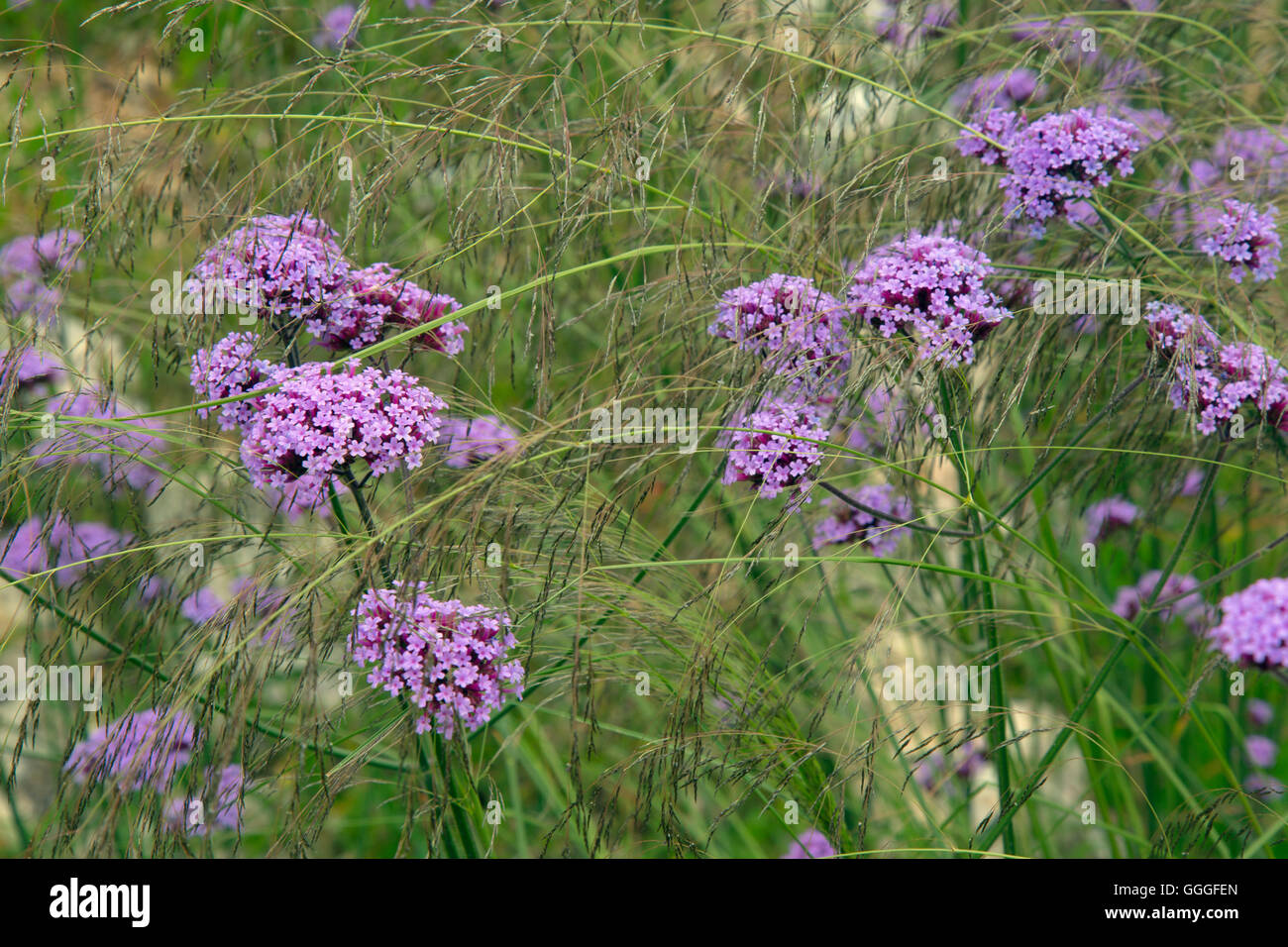 Verbena bonariensis  or Purpletop vervain, Clustertop vervain, Argentinian vervain  native to tropical South America - Stock Image